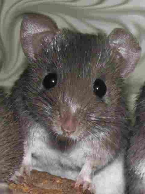 pierderea în greutate a șobolanilor de companie