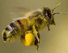 albine polen pentru pierderea în greutate slăbește înainte de burtă