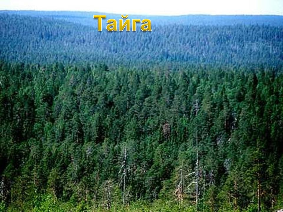 Pădure de molid