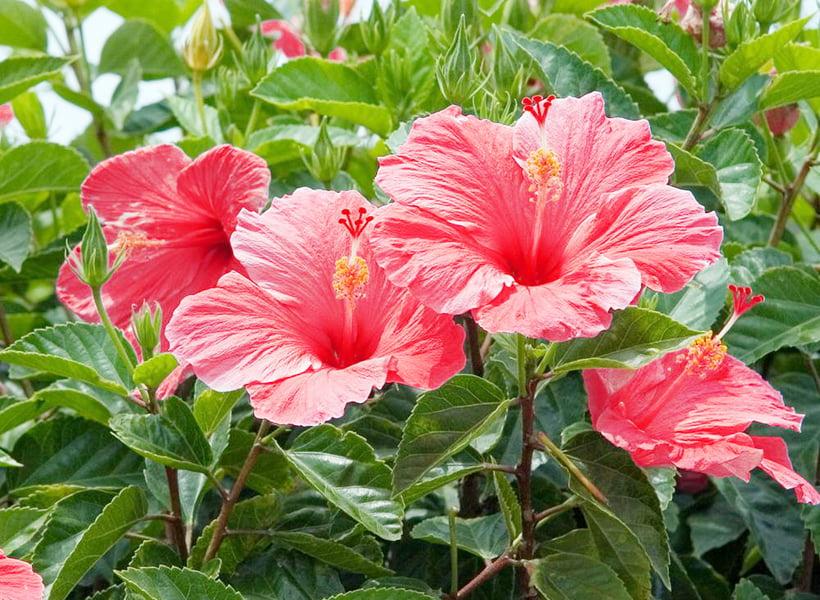 hibiscus vă ajută să pierdeți în greutate)