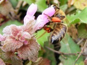 albine polen pentru pierderea în greutate scădere în greutate la scurgerea de grăsime