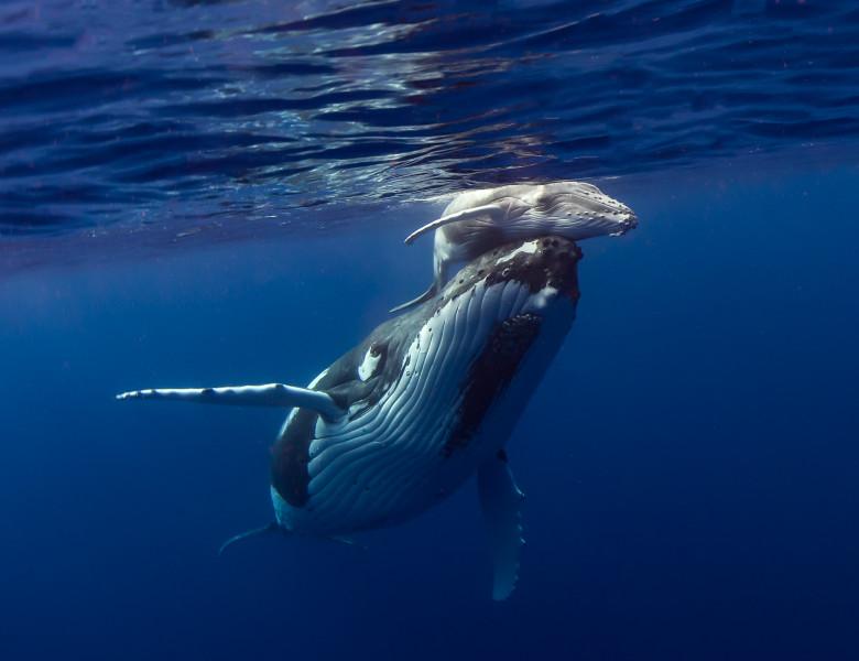 balenele pierd în greutate
