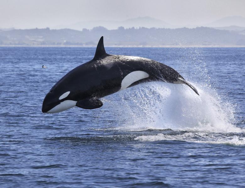 Balenele slabesc si nu se mai reproduc