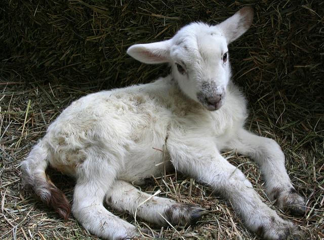 motive caprele pierd în greutate