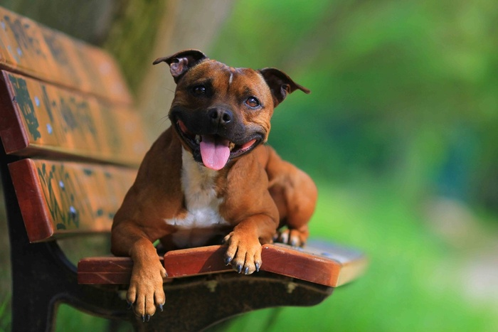 American Staffordshire Terrier: Greutate
