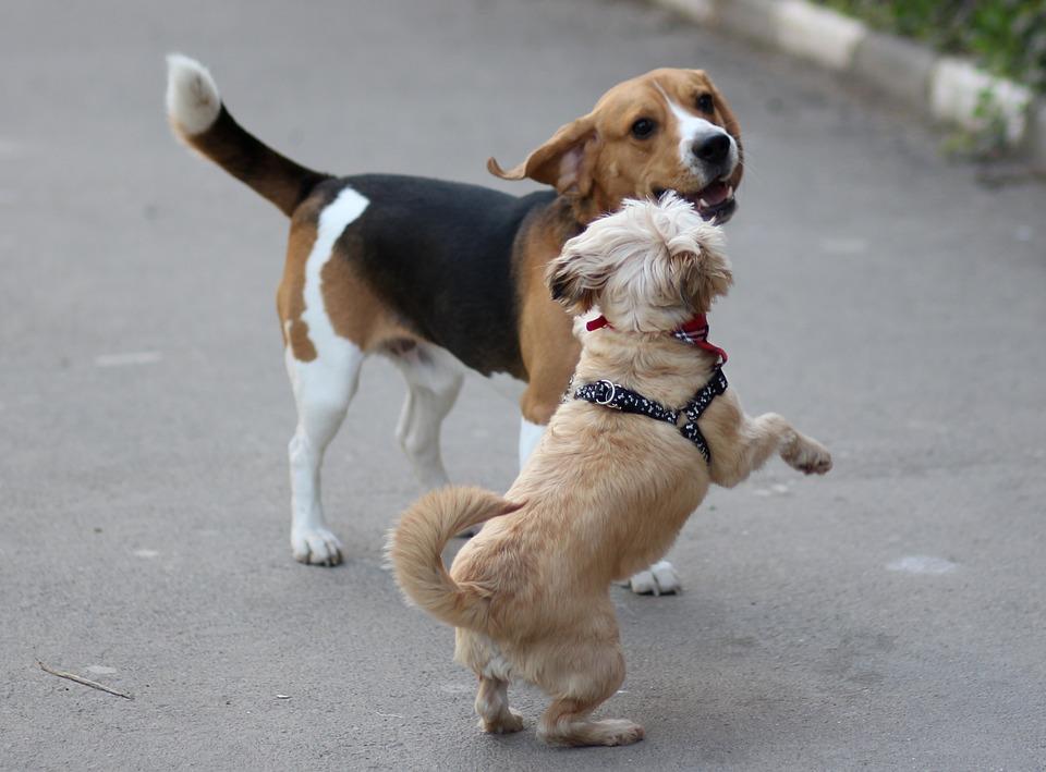 Cum să slăbești cu un beagle,