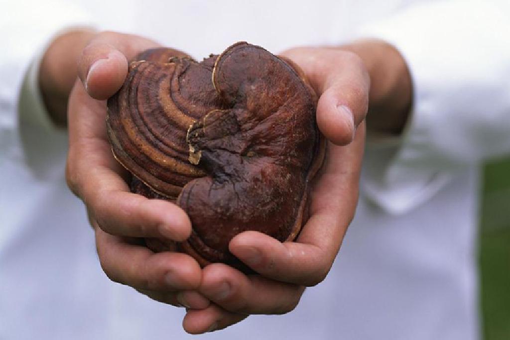 Ciuperca Ganoderma lucidum favorizează slăbirea - CSID: Ce se întâmplă Doctore?