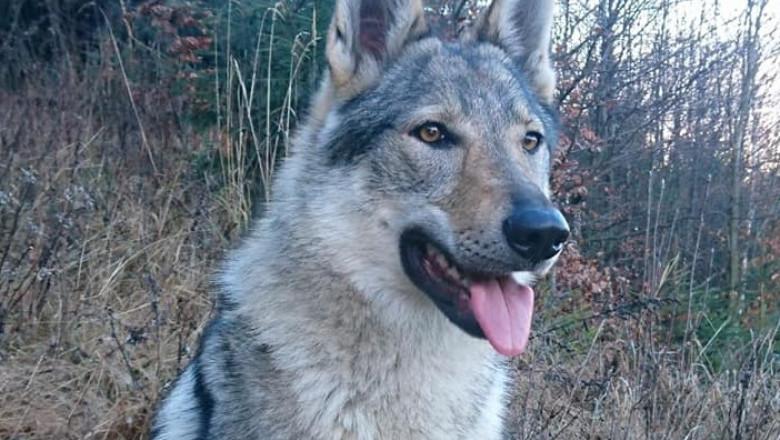 lupi și pierdere în greutate 24 ore slăbire