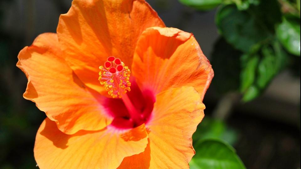 Ceaiul de hibiscus arde grăsimi?