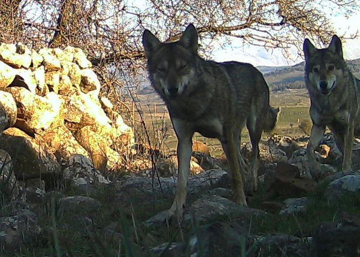 lupi și pierdere în greutate pierderea de grăsime evo