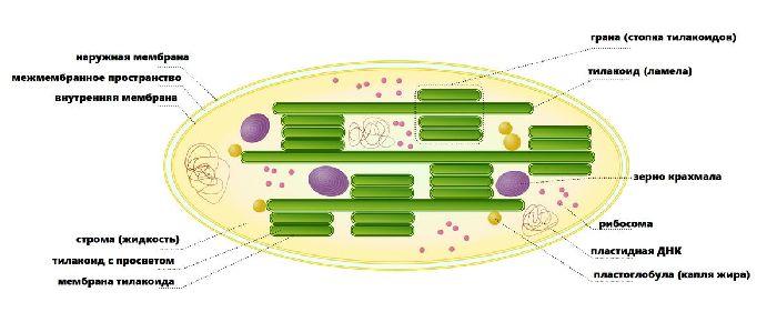 Multiplele beneficii pentru sănătate ale chlorellei